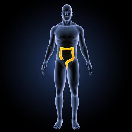 descending colon: Large intestine anterior view Stock Photo