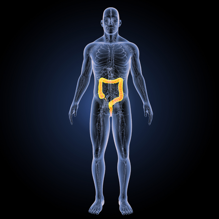 sigmoid colon: Large intestine anterior view Stock Photo