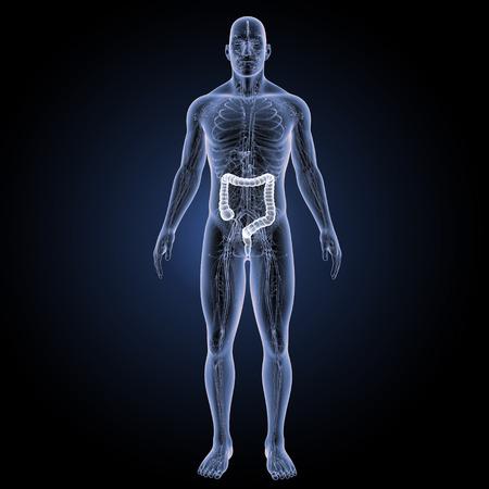 Large intestine anterior view Stock Photo