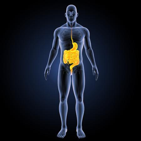 rectum: Digestive system anterior view