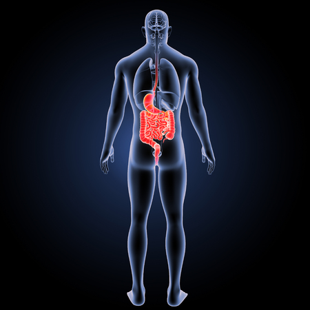 Digestive system posterior view