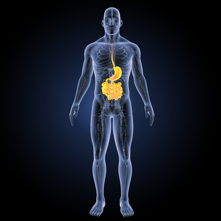 anterior: Digestive system anterior view