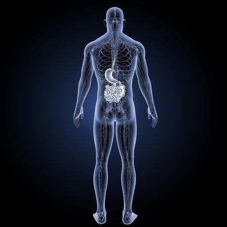 esofago: Vista posterior del sistema digestivo