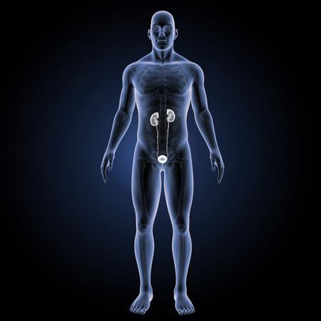 Nieren anterieure weergave