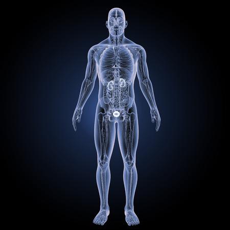 uretra: Vista anterior de los riñones