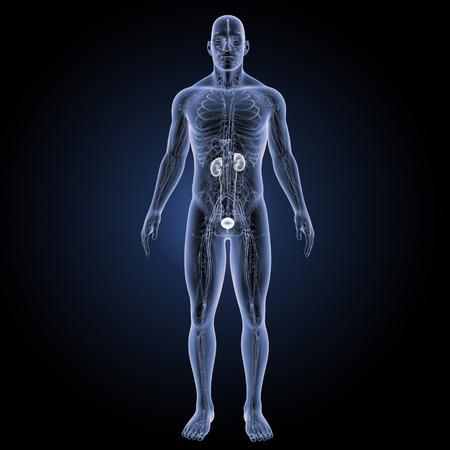 anterior: Kidneys anterior view