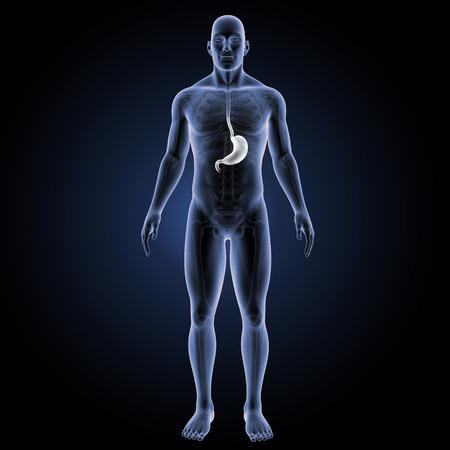 esofago: Vista anterior del estómago Foto de archivo