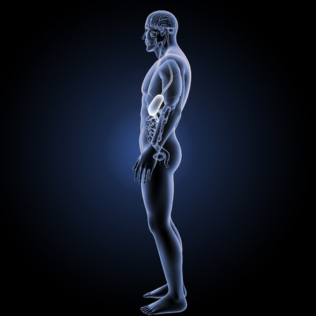Stomach lateral view Stock Photo