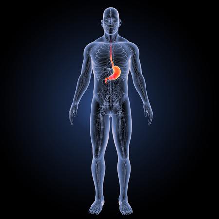 stomach anterior view