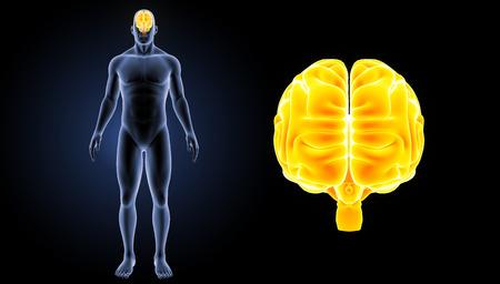 medical scan: Human brain anterior view