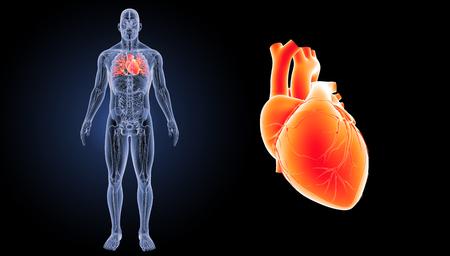 Human heart anterior view Stock Photo
