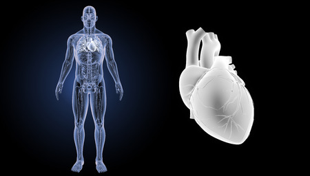right ventricle: Human heart anterior view Stock Photo