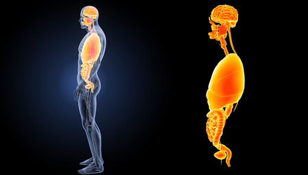 colon surgery: Human organs lateral view