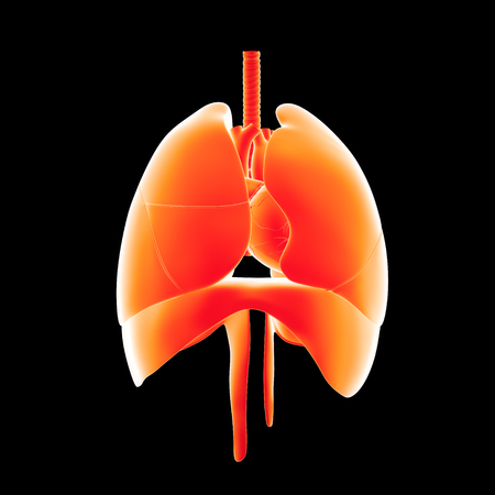 Human lungs and heart anterior view Stock Photo