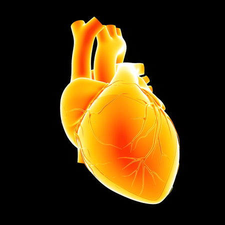 Human heart anterior view Stock Photo