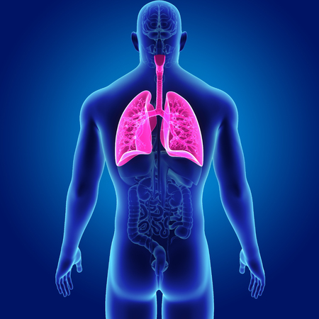 Menselijke longen met organen achteraanzicht
