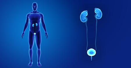 Human Urinary system zoom with body anterior view Stock Photo