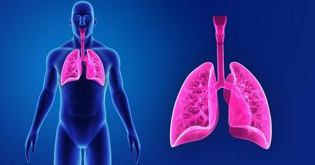 Poumon humain zoom avec vue antérieure du corps