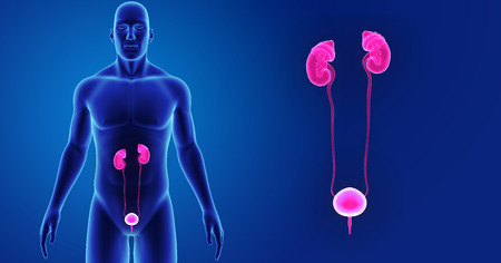 Urinary system zoom with body anterior view Stock Photo