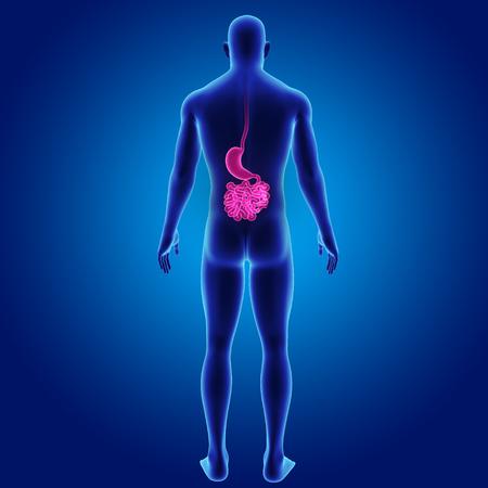 colon: Human stomach and small intestine posterior view