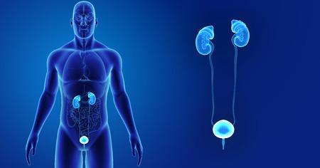 Menselijk urine systeem zoom met organen vooraanzicht Stockfoto