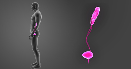 Human Urinary system zoom with body lateral view