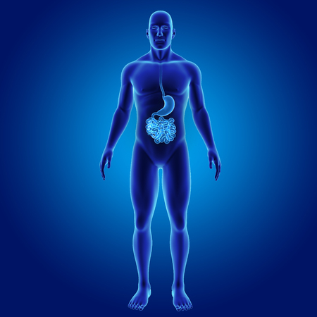 colon surgery: Human Stomach and small intestine anterior view