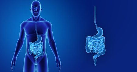 colon: human Stomach and intestine zoom with body anterior view Stock Photo