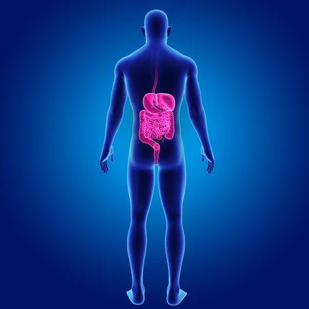 colon: Human Digestive system with body posterior view