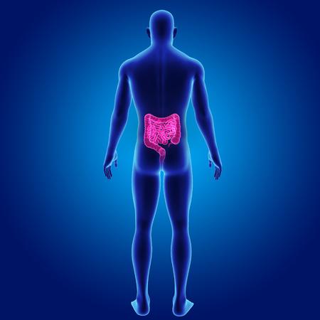 colon: Human Intestine with body posterior view