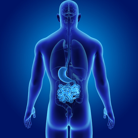 rendered: Human Stomach and small intestine with organs posterior view Stock Photo