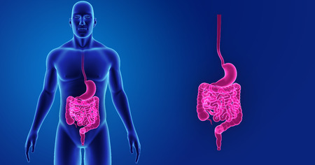 colon: Human Stomach and intestine zoom with body anterior view