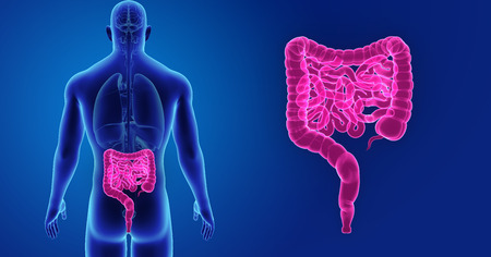 Human Intestine zoom with organs posterior view Stock Photo