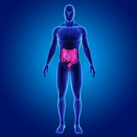Human Intestine with body anterior view