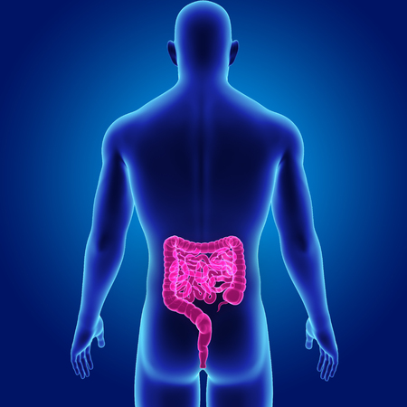 duodenum: human Intestine with body posterior view Stock Photo
