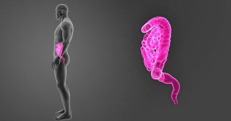 large intestine: Human Intestine zoom with organs lateral view