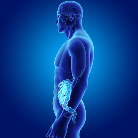 rendered: Human Intestine with organs lateral view Stock Photo