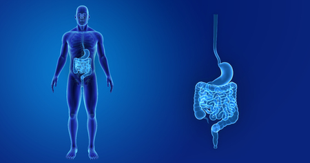Human Stomach and intestine zoom with skeleton anterior view Stock Photo