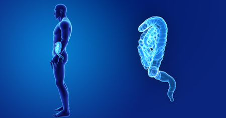 colon: Human Intestine zoom with body lateral view