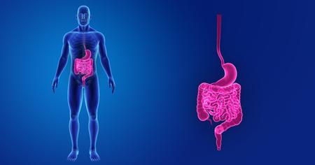Human Stomach and intestine zoom with skeleton anterior vie