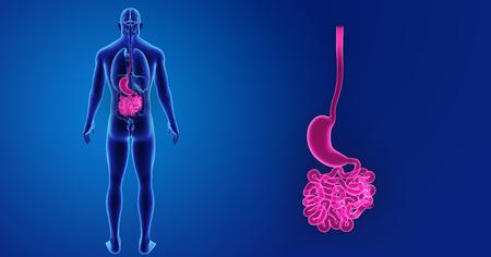 trzustka: Human Stomach and small intestine zoom with organs posterior view Zdjęcie Seryjne