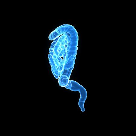 colon: Human Intestine lateral view Stock Photo