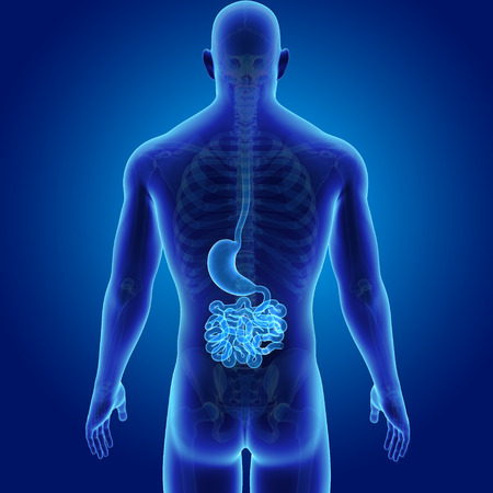 Human Stomach and small intestine with skeleton posterior view Stock Photo
