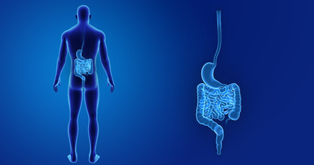 colon: Human Stomach and intestine zoom with body posterior view Stock Photo