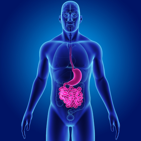 rendered: Human Stomach and small intestine with organs anterior view