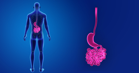 Human Stomach and small intestine zoom with skeleton posterior view Stock Photo