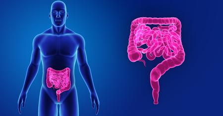 Human Intestine zoom with body anterior view