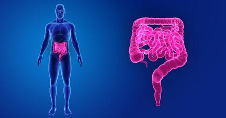 trzustka: Human Intestine zoom with organs anterior view