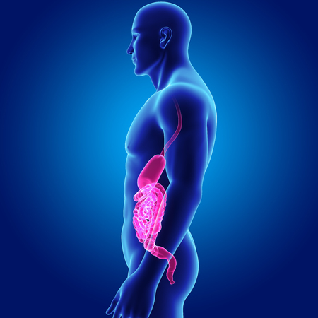 colon: Human Stomach and intestine with body lateral view Stock Photo