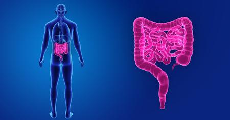 trzustka: Human Intestine zoom with organs posterior view Zdjęcie Seryjne